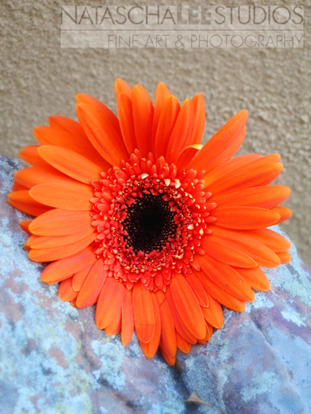 Las Vegas Flower  (Gerbera Daisy) by Broomfield, Colorado Family Photography Natascha Lee Studios